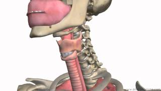 Respiratory System Introduction - Part 1 (Nose to Bronchi) - 3D Anatomy Tutorial