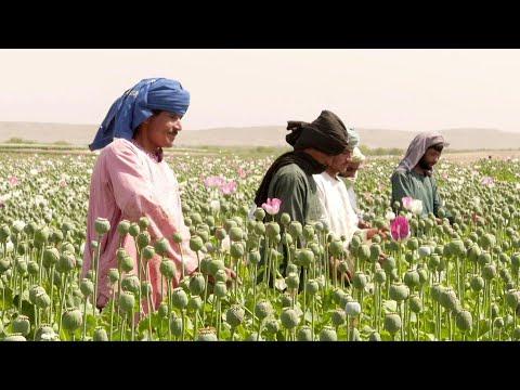 العرب اليوم - شاهد: الخشخاش يزهر من جديد في مزارع أفغانستان