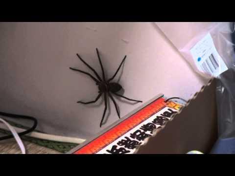 在家中牆角出現巨蟹蛛