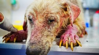 Amazing recovery of the Saddest Dog in the World