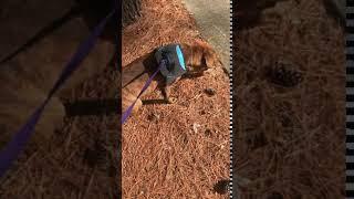 Plott Hound Puppies Videos