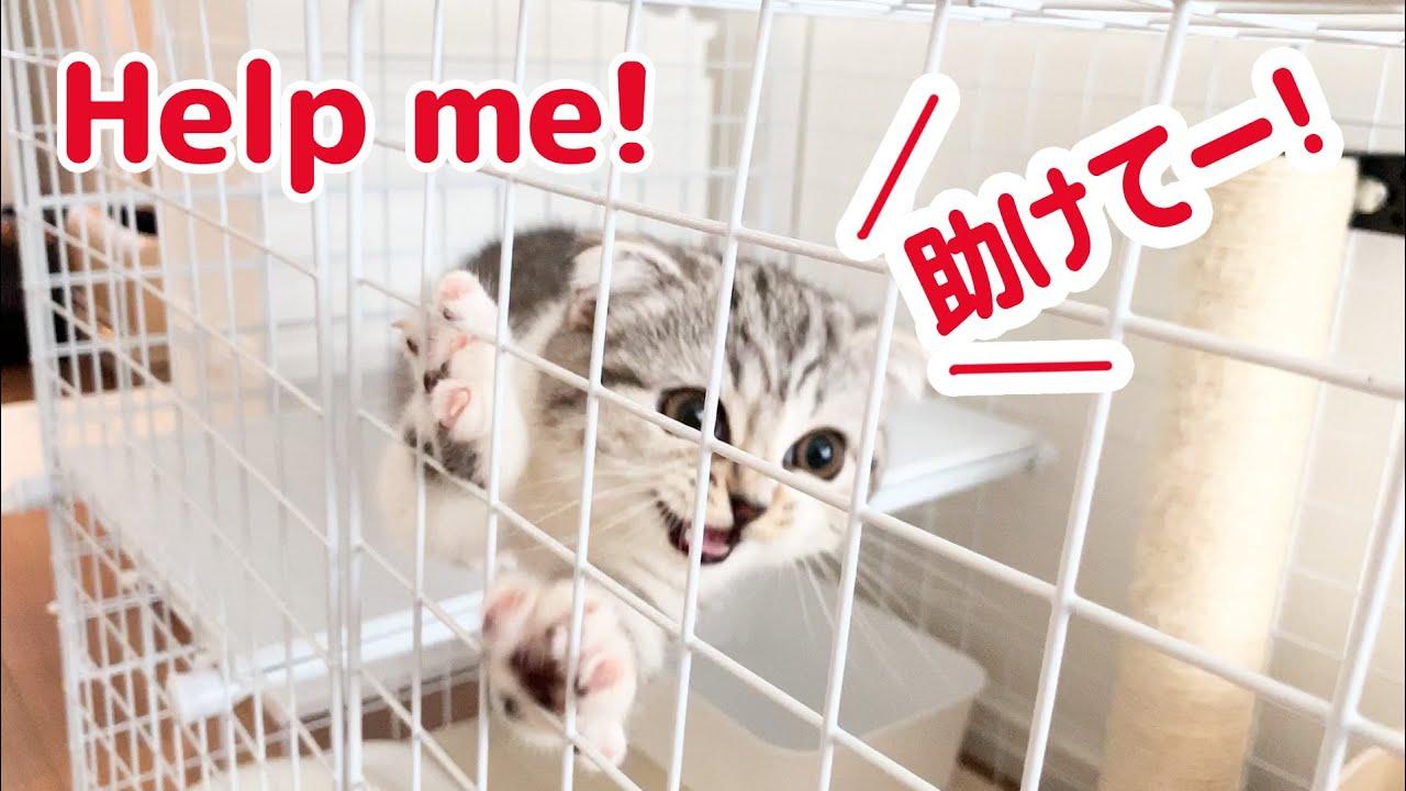 全力でギャン鳴きする子猫。清掃スタッフが怖い![スコティッシュフォールド・ぐう36]/Scary and angry kitten.