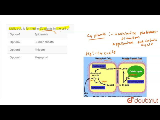 Malic Acid Is Formed In C 4 Plants The Cell Of