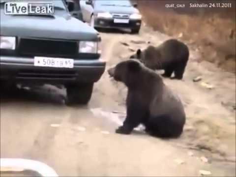 דובים מבקשים אוכל מחלון המכונית