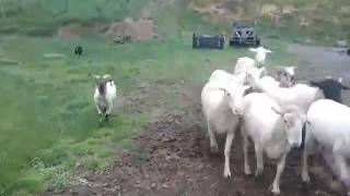 animale cainele aduna oile