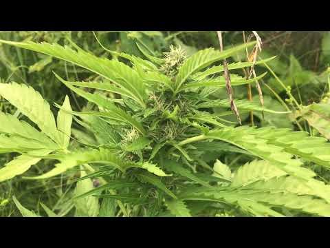 Утилизация марихуаны видео марихуана и красивые девочки