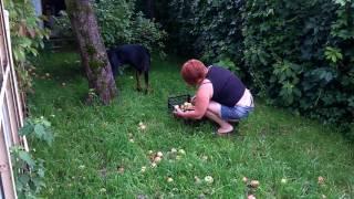 Доберман Хан собирает яблоки на вино.