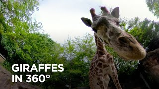 Reticulated and Masai Giraffes Inspect 360° Camera