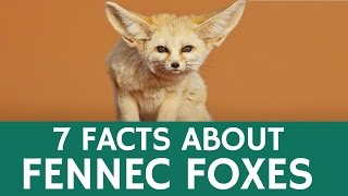 Fun Facts about Fennec Foxes – Cute and Exotic Desert Animals