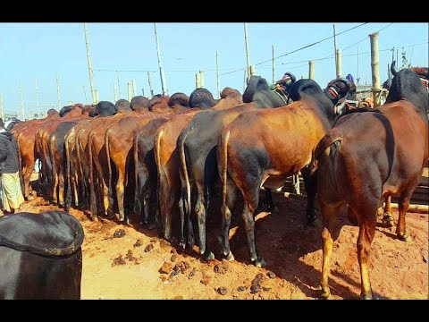 828  Big Big Indian and Desi Cows Market prices 2019  Indian Best