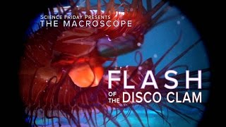 Flash of the Disco Clam