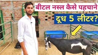 beetal goat farming in punjab india - TH-Clip