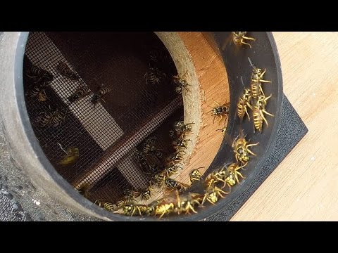 Man creates a vacuum to capture an entire wasp nest. Ends up with a box of wasps.