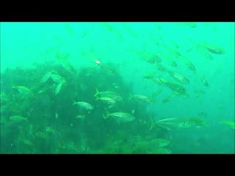 水中映像:マアジ