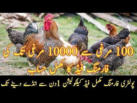 Download Hen Farming In Pakistan Desi Murgi Poultry Farm How To Sta