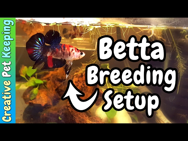 Betta Breeding Tank Setup and moving the fishroom to the KITCHEN!? |  Fish Fan Friday Vlog