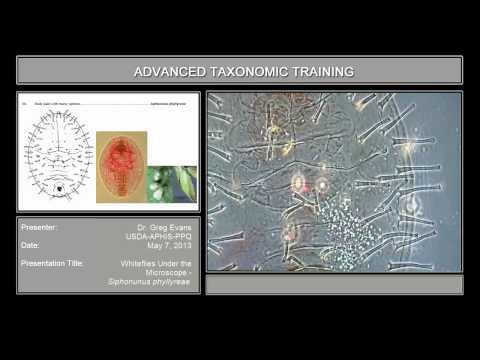 Whiteflies under the microscope – <em>Siphonunus phyllyreae</em>
