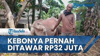 Tidak Dijual meski Pernah Ditawar hingga Rp32 Juta, Pemilik Kebo Bule di Klaten: Sudah Sayang