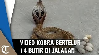 Ular Kobra Bertelur di Jalanan Gegerkan Warga, Pawang Ular Didatangkan