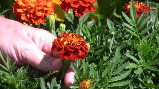 How To Harvest Edible Flowers