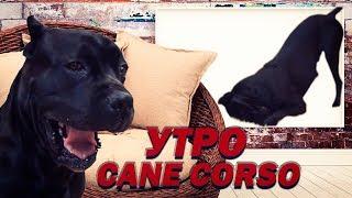 Что делает утром собака Кане Корсо? #canecorso