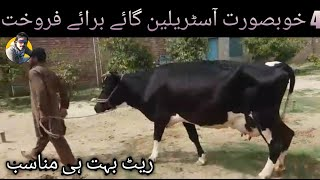 Pure Australian 4 cows for sale in rawalpindi with jani best