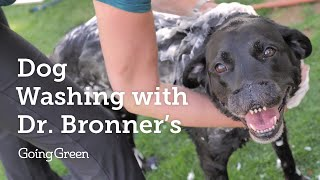 Dog Washing with Dr. Bronner's Soap