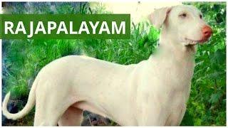 Rajapalayam dog, India
