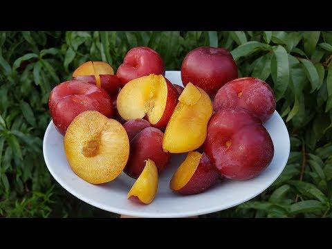 Гибрид персик-слива \Вкуснейший сорт
