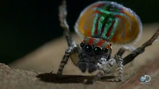 Peacock Spider Dances for Love and Life