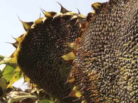 Sunflower hybrid IMERIA - exclusively from BULAGRO