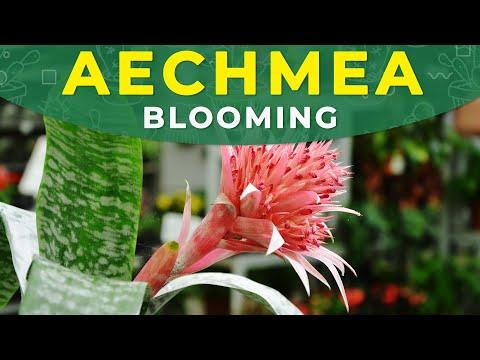 , title : 'AECHMEA FASCIATA FLOWER DEVELOPMENT   CARE