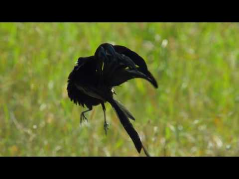 Watch How High These Crazy Birds Have To Jump To Get Laid