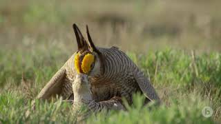 Like No One Is Watching  The Dance of the Lesser Prairie Chicken