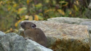 American Pika calls and vocalizations in Whistler