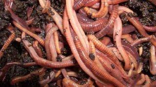 Как лучше накопать червей для рыбалки