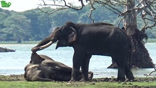 A mighty tusker elephant slays a young elephant. The herd mourns after