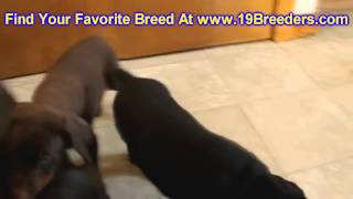 Doberman Pinscher, Puppies, Dogs, For Sale, In Hempstead Town, Borough, New York, NY, 19Breeders