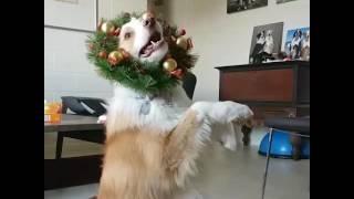 animale cainele danseaza