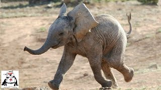 Baby Elephants Chasing Other Animals Compilation!