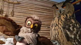 Eagle owl Yoll wants to let the plush owl go for a walk