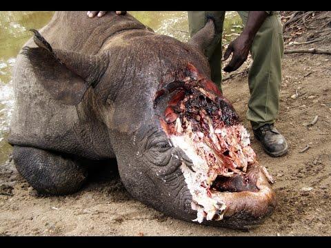 Rhino Extinction - The Poachers Pipeline