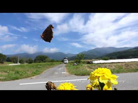 秋の花壇の蝶 スーパースロー