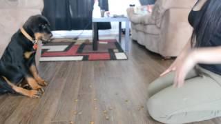 12 weeks rottweiler puppy training