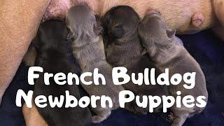 Newborn French Bulldog Puppies