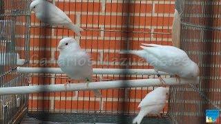 Canarios Blancos Recesivos 2013