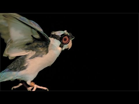 Scientists Shoot Lasers At Bird In Goggles To Unravel The Mysteries Of Flight