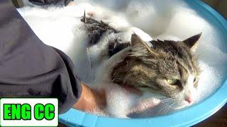 保護猫ボス吉、初めてのシャンプーで極太のしっぽがゴボウになる!Boss Cat's first bath time. His thick tail looks like a burdock. | Kholo.pk