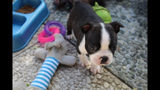 Boston Terrier Puppies Grow Up (0 - 8 Weeks Old)