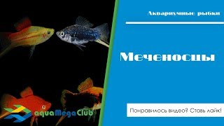 Меченосцы (xiphophorus Helleri) - разные виды и породы этих живородящих аквариумных рыбок